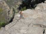 Gecko Tenerife