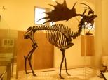 An Irish Elk at the Museum of Natural History